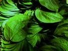 7 Leaves Condensed Tobacco Flavoring