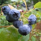 Bilberry Condensed Flavoring